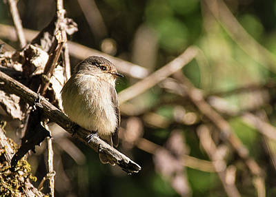 Photograph - Cinnamon Bracken Warbler perched in the bush by Jwngshar Narzary