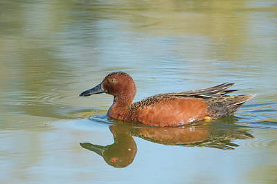Photograph - Cinnamon Teal Duck 7151-041519 by Tam Ryan