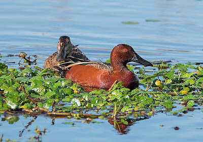 Photograph - Cinnamon Teal Pair by Loree Johnson