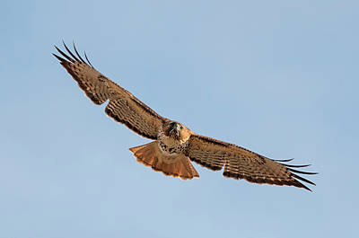 Photograph - Circling Hawk by Loree Johnson