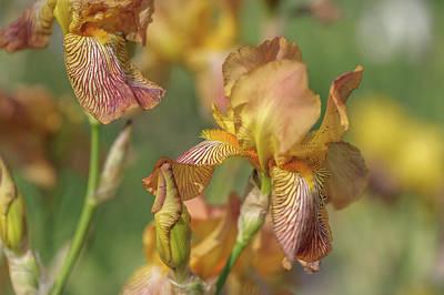 Photograph - Clara Moyes 1. The Beauty Of Irises  by Jenny Rainbow