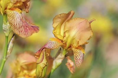 Photograph - Clara Moyes. The Beauty Of Irises by Jenny Rainbow