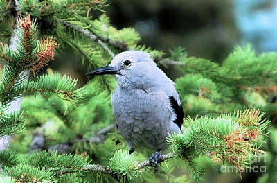 Photograph - Clark's Nutcracker by Elaine Manley