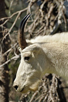 Photograph - Classic Glacier National Park Mountain Goat by Bruce Gourley
