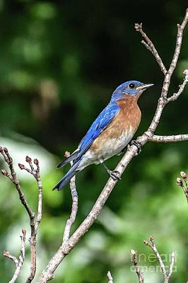 Vintage Buick - Classic Pose Of An Eastern Bluebird by Cindy Treger