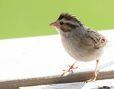 Photograph - Clay-colored Sparrow by Philip Rispin