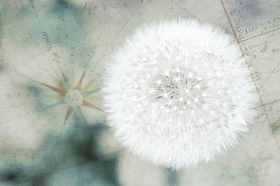 Fragility Photograph - Close Up Capture Of Dandelion Flower by Alexandre Fp