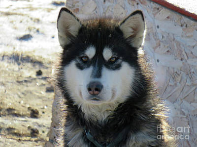 Animals Royalty-Free and Rights-Managed Images - Close up face of a Nunavik sleight dog, a real husky by Celine Bisson