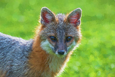Photograph - Close Up Grey Fox Looking Intent At Camera Paintography 1 by Dan Friend