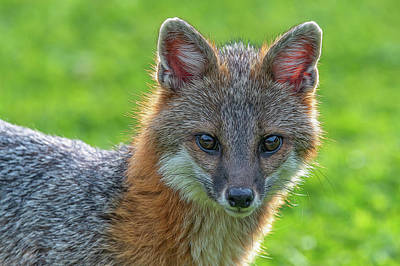 Photograph - Close Up Grey Fox Looking Intent Paintography by Dan Friend
