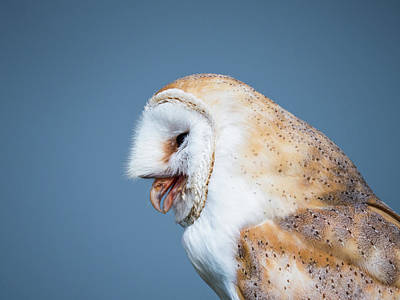 Photograph - Close up of a barn owl after swallowing a mouse by Tosca Weijers