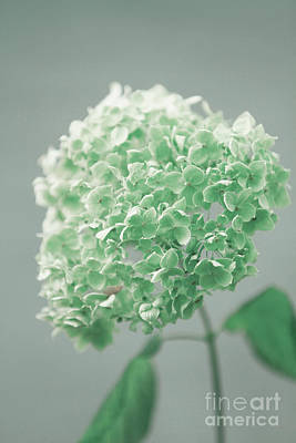 Popstar And Musician Paintings Royalty Free Images - Close Up Of A Blooming Hydrangea Flower Royalty-Free Image by Dan Radi