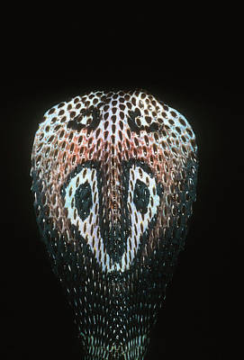 Photograph - Close-up Of A Spectacled Cobra by Martin Harvey