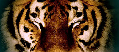 Eyes Closed Photograph - Close-up Of A Tiger, Yalta, Crimea by Win-initiative/neleman