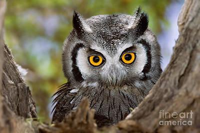 Southern White Faced Owl Art Prints Fine Art America