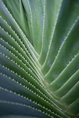 Photograph - Close Up Of Agave Plant Textured With by Nacivet