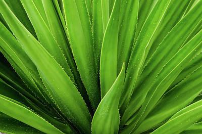 Close Up Of Aloe Plant Art Print by Sebli Ayie / Eyeem
