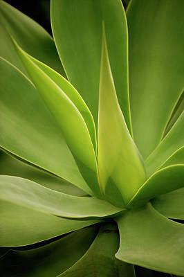 Photograph - Close Up Of Aloe Vera Plant by David Dixon