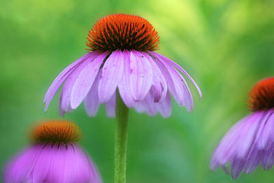 Botanical Photograph - Close-up Of Coneflowers Echinacea At by Darwin Wiggett