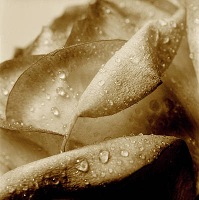 Flowers And Water Drops Wall Art - Photograph - Close-up Of Dew Drops On A Rose by Win-initiative/neleman