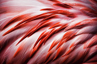 Photograph - Close-up Of Flamingo Feathers by Karen Ulvestad