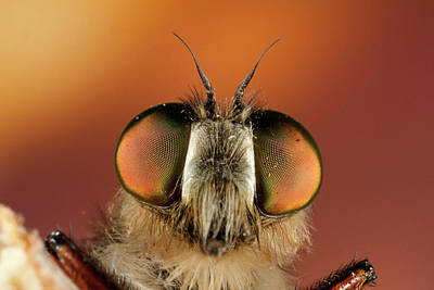 Insect Photograph - Close Up Of Fly by Antonio Camacho