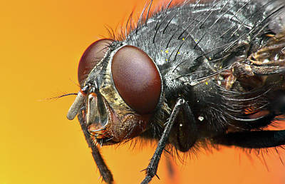 Insect Photograph - Close Up Of Fly by Mark Watson (kalimistuk)