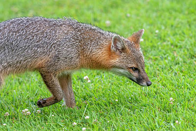 Photograph - Close Up Of Grey Fox Sniffing For Food by Dan Friend