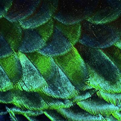 Photograph - Close Up Of Peacock Feathers by Madmàt