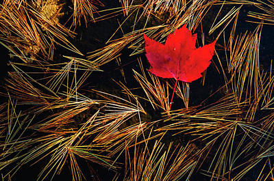 Photograph - Close-up Of Red Maple Acer Rubrum Leaf by Mike Grandmaison