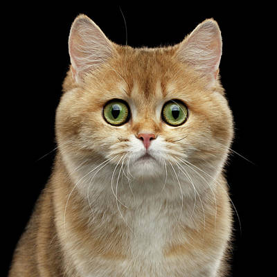 Cat Wall Art - Photograph - Close-up Portrait Of Golden British Cat With Green Eyes by Sergey Taran