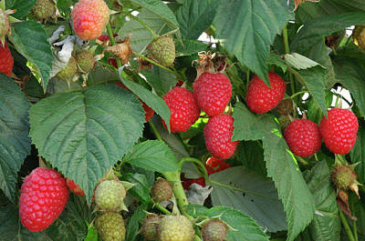 Branch Photograph - Close-up Ripening Organic Raspberries by Gomezdavid