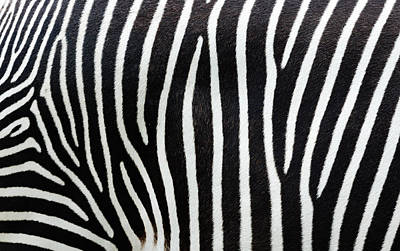 Photograph - Close-up View Of Zebra Stripes by Freder