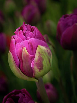 Photograph - Closed Pink Tulip by Jean Noren