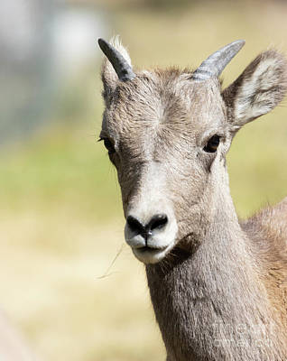 Steven Krull Royalty-Free and Rights-Managed Images - Closeup Bighorn Sheep In Waterton Canyon by Steven Krull