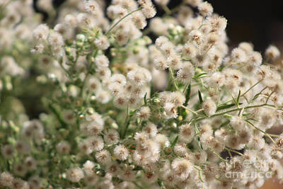 Photograph - Closeup Fluffy Seed Heads by Colleen Cornelius