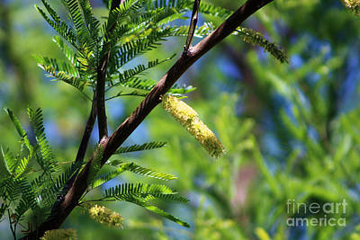 Photograph - Closeup Of Avocado Green Mesquite Tree Catkins by Colleen Cornelius