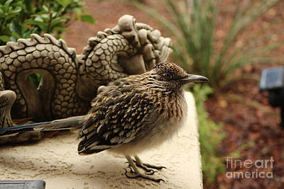 Photograph - Closeup Of Cold Fluffed Up Road Runner By Dragon by Colleen Cornelius