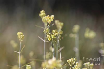 Photograph - Closeup Of Desert Milkweed Sunnyland Estates by Colleen Cornelius