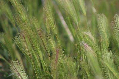 Photograph - Closeup Of Hayseed Heads - Wild Grasses Of Utah by Colleen Cornelius