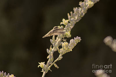 Photograph - Closeup Of Hummingbird Hovering Over Hesperaloe Parviflora Flower by Colleen Cornelius