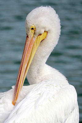 Photograph - Closeup Of Preening White Pelican by Carol Groenen