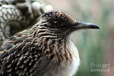 Closeup Of Road Runner By Dragon In Palm Desert Art Print