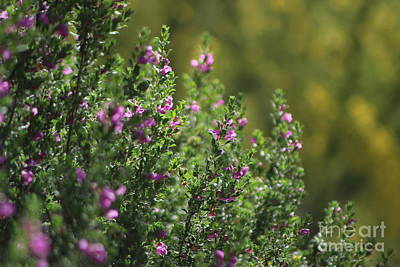 Photograph - Closeup Of Texas Ranger Bush Against Yellow Palo Verde Blossoms by Colleen Cornelius