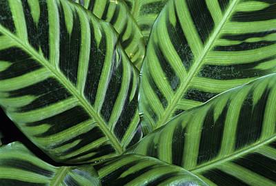 Photograph - Closeup Of Zebra Plant Leaves, Calathea by Schafer & Hill