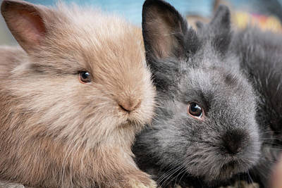 Comedian Drawings Rights Managed Images - Closeup portrait of two young cuddling rabbits Royalty-Free Image by Stefan Rotter