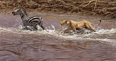 Painting - Closing In - Lion Chasing a Zebra by Alan M Hunt