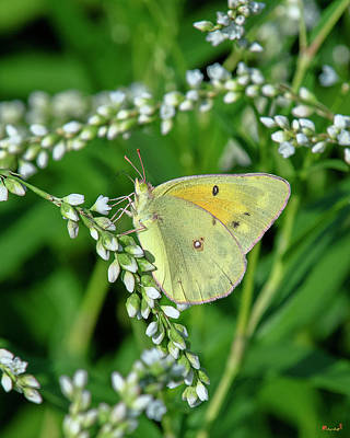 Photograph - Clouded Sulphur Butterfly Din0275 by Gerry Gantt
