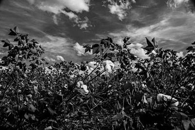 Photograph - Clouds Of Cotton by John Harding