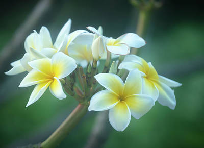 Photograph - Cloudy Day Plumerias by Jade Moon